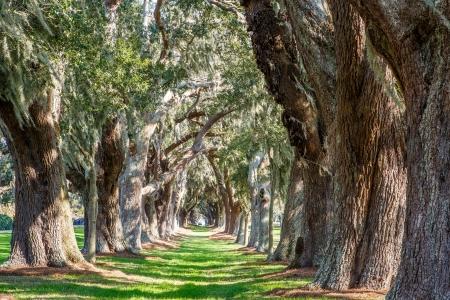 Lijnen van oude eiken rond een rijstrook van groen gras Stockfoto