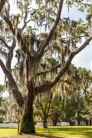 A massive old live oak tree draped with spanish moss in a park photo
