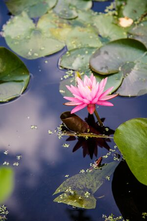 A bright pink lilly in a pond with sky reflected photo