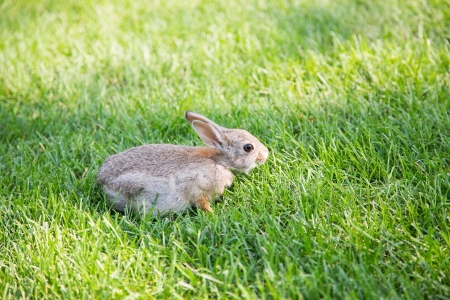 fescue: A young brown rabbit in green fescue grass Stock Photo
