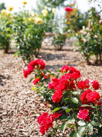 Red and yellow rose bushes in a sunny garden photo