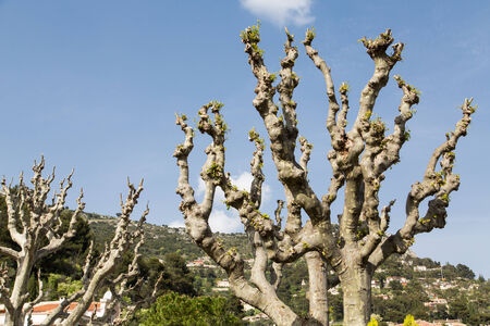New growth on freshly pruned trees against a blue sky
