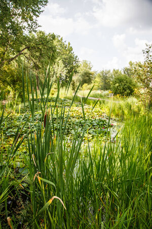 bullrush: Cattails and grasses in a wetland marsh