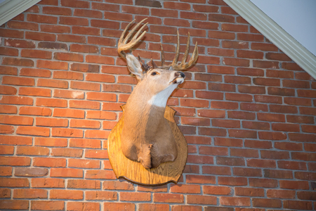 mounted: A stuffed deer head mounted on a brick wall