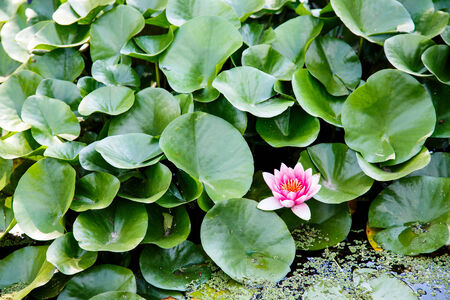 lillies: Beautiful flowers in lilly pads on a pond