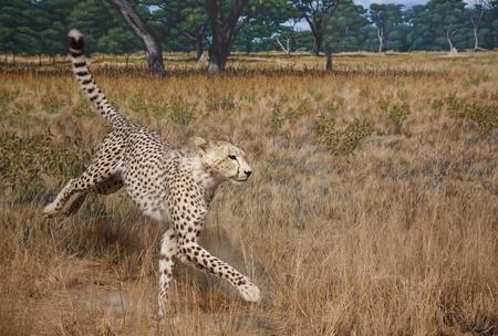 A cheetah in the savannah grasslands photo
