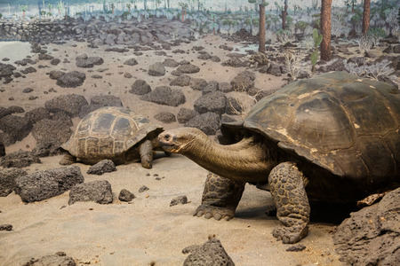 ancient turtles: Giant tortoises in sand and rocks