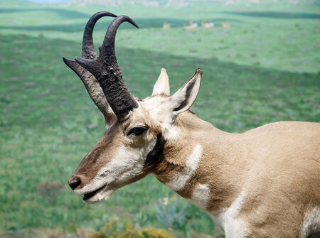 Head and horns of an African Antelope in the grasslands photo