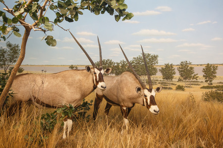 Gemsbok African Antelope in the Grasslands photo