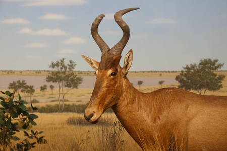 An African antelope in the grasslands photo