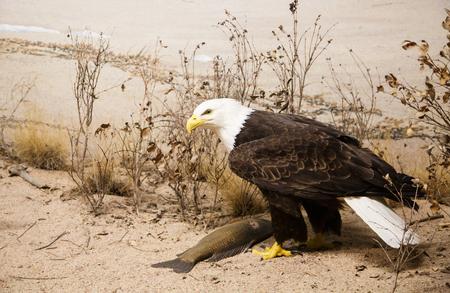 A bald eagle on the sand of a beach Imagens