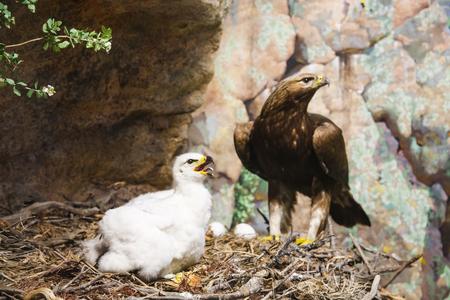 バック グラウンドで母親と一緒に巣に赤ちゃんゴールデン ・ イーグル