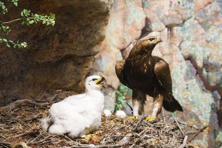 A baby golden eagle in the nest with mother in background