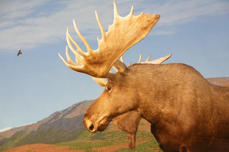 산이있는 알래스카 또는 캐나다의 황소 무스 스톡 콘텐츠