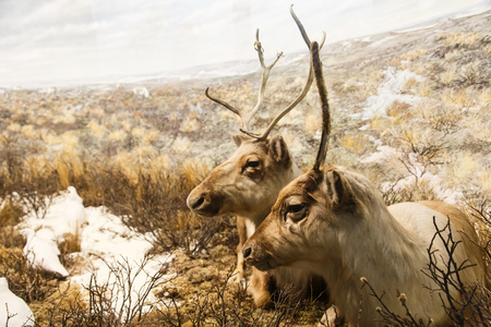 caribou: Two caribou resting in the frozen tundra