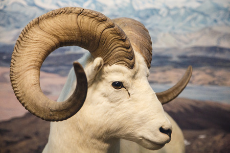 Closeup of a bighorn sheep in the wilderness Imagens - 29196759