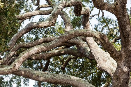 limbs: Many gnarled limbs of old oak against the sky Stock Photo