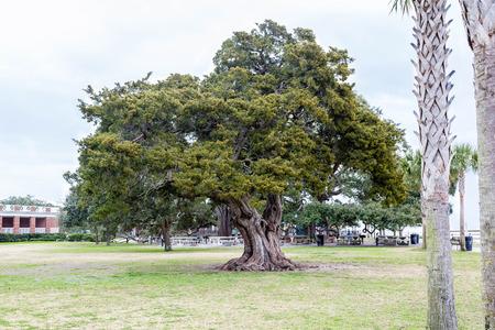Un árbol de roble viejo vivo enorme en un parque del sur Foto de archivo - 37498667
