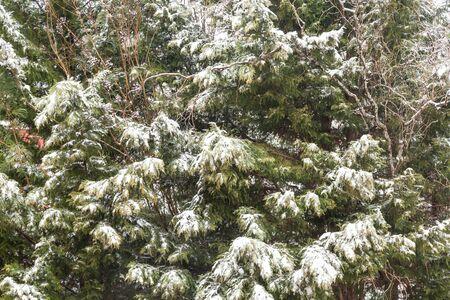 cypress tree: Fresh snow on a green Leyland Cypress Tree