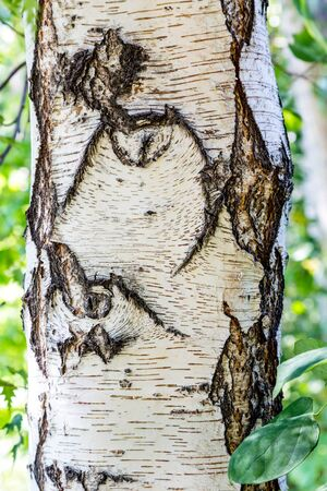 Rough texture on a white birch tree in a forest