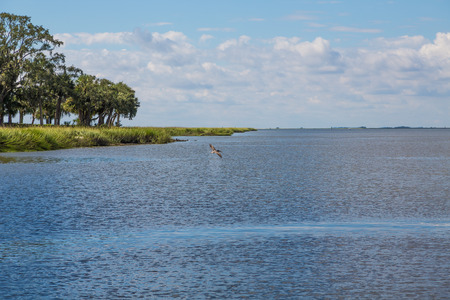saltwater: A bronw pelican soaring over a blue bay in a saltwater marsh