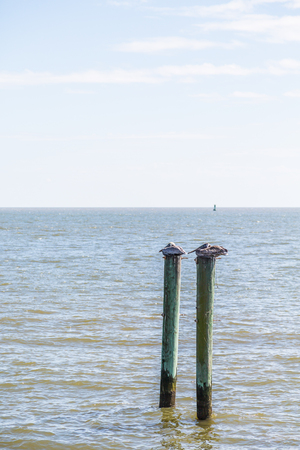 bayou: Two brown pelicans perched on wood posts in a marina