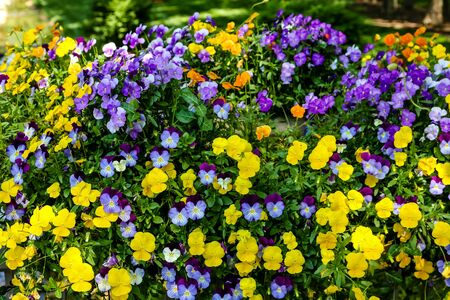 landscaped garden: Yellow and Purple Pansies in Formal landscaped Garden
