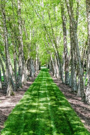 A line of summer birch trees with lush green grass photo