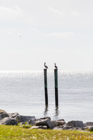 roosting: Two brown pelicans roosting on old wooden posts