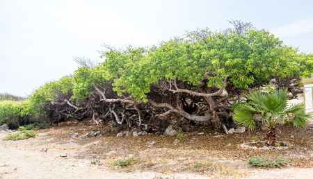lethal: Manchineel tree or poison apple tree on Curacao