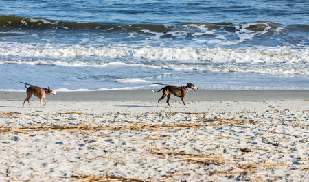 leashes: Two dogs running on a beach at the end of their leashes Stock Photo
