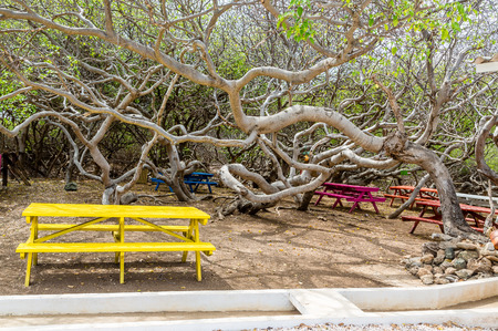 deadly poison: Manchineel tree or poison apple tree on Curacao
