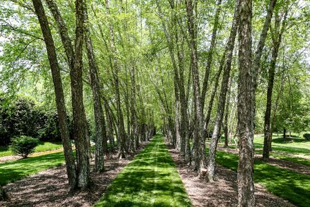 Lines of River Birch Trees and Green Lush Grass