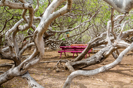 lethal: Manchineel tree or poison apple tree on Curacao with colorful picnic benches