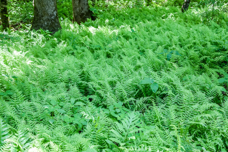 floor covering: Lush green ferns covering the floor of a forest