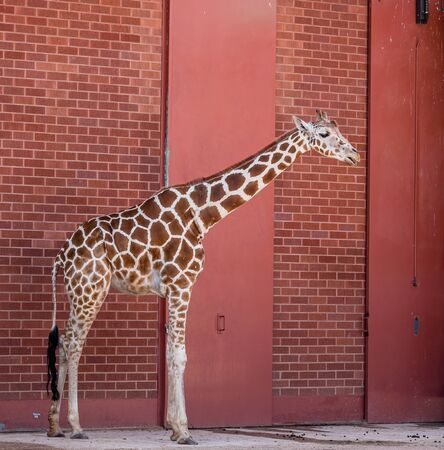 herbivore: A giraffe in front of a red brick wall Stock Photo