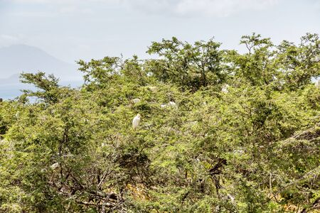 egrets: Egrets in Tropical Tree on St Kitts