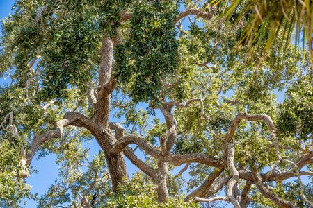 oak: A Massive Old LIve Oak Tree with Limbs Against Sky Stock Photo