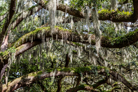 oak trees: Massive oak limbs covered in ferns and spanish moss Stock Photo