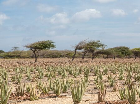 aruba: Aloe plants being cultivated in a field on Aruba
