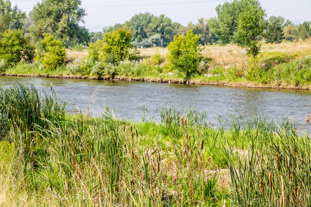 cattails: Cattails and grasses along the Platte River in Denver, Colorado
