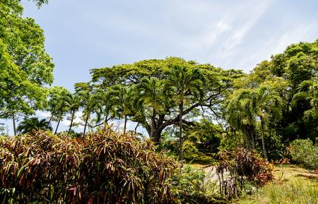 dense: Dense tropical trees in a lush rain forest Stock Photo