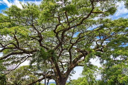 The Giant Saman tree on the island of St Kitts Stock Photo