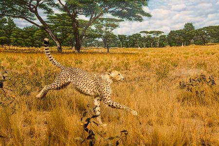 A cheetah running across the grasslands