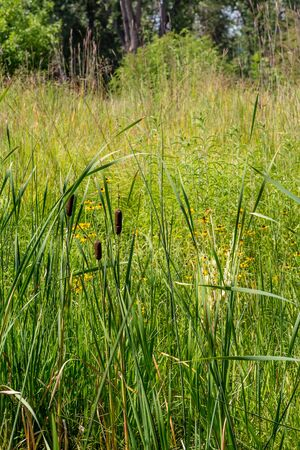 cattails: Cattails and Daisies growing in a wetland marsh Stock Photo