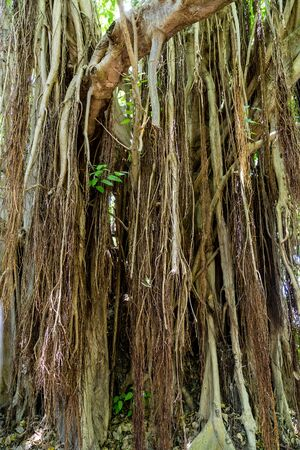Old Banyan Tree in Tropical Rain Forest Stock Photo