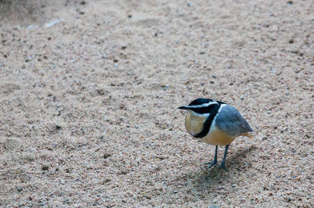 plover: Egyptian Plover in Gravel perched on bed of gravel Stock Photo