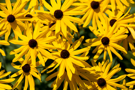 bright eyed: Blooming brown-eyed susans in a summer garden Stock Photo