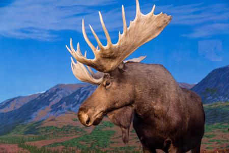 Mannelijke Moose tegen de achtergrond van de bergen