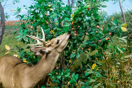 huge antlers: Deer feeding on berries in field Stock Photo